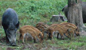 ASP Afrikanische Schweinepest
