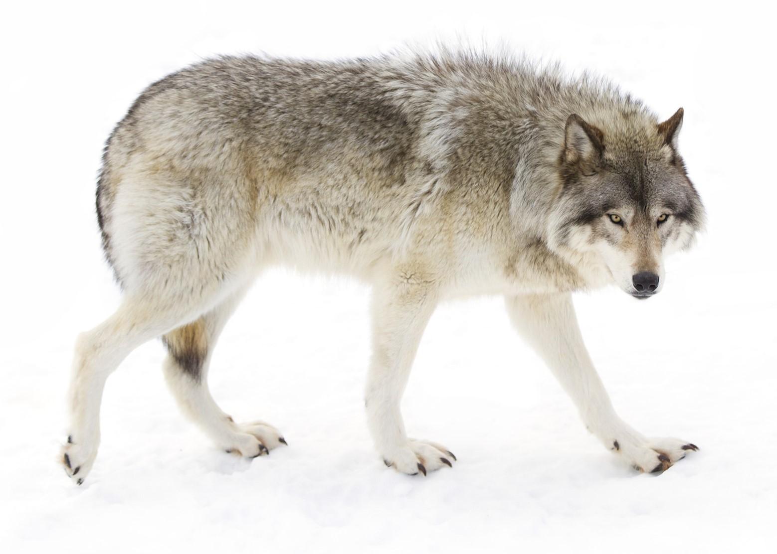 Bilder Vom Wolf - Kostenlos zum Ausdrucken