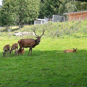 Das Rotwild im Wildgehege auf dem Katharinenberg.