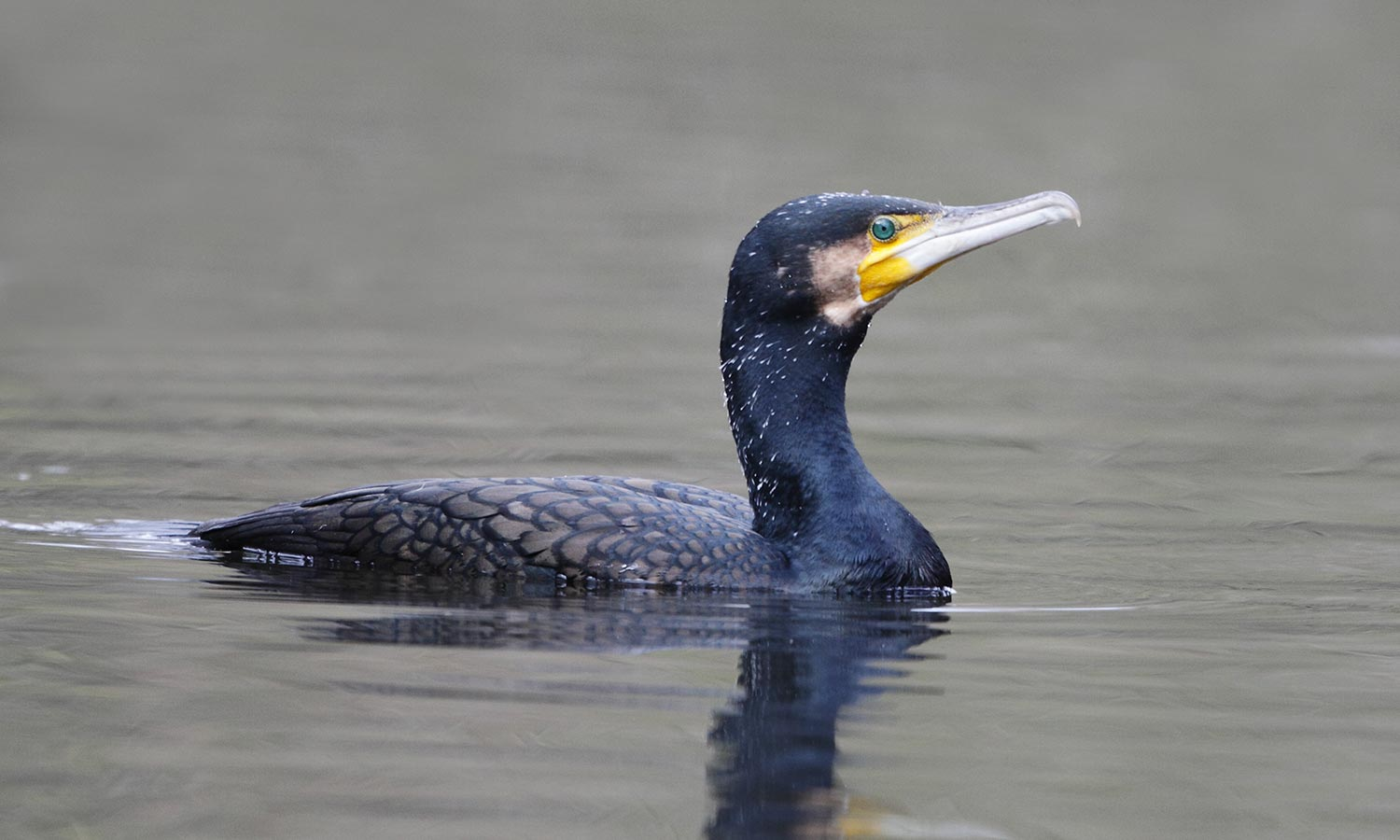 Kormoran © H. Glader/piclease