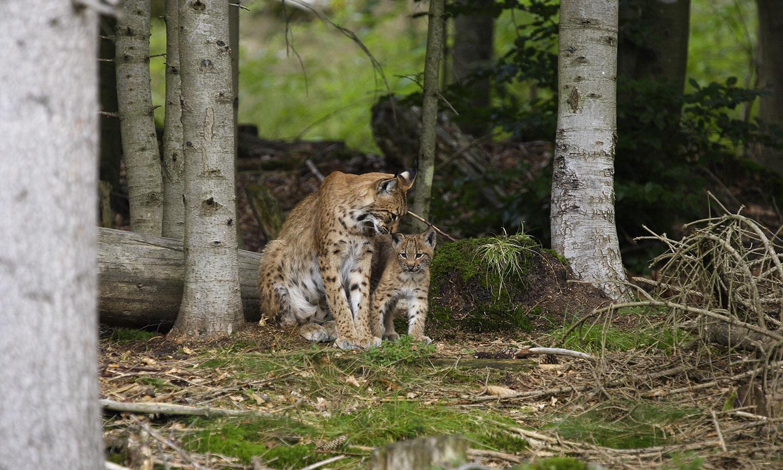Luchsin mit Jungtier - Foto: G. Pauluhn/piclease
