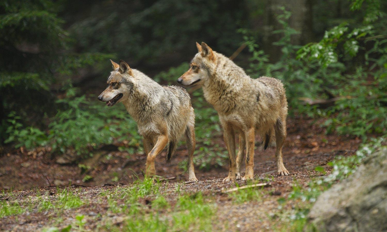 Wölfe - Foto: G. Pauluhn/piclease